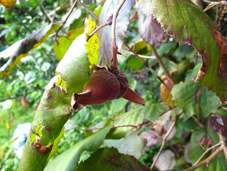 Nu hazelnoten te vinden uh van de hazelnoot - Hoe een boom te verlichten ...