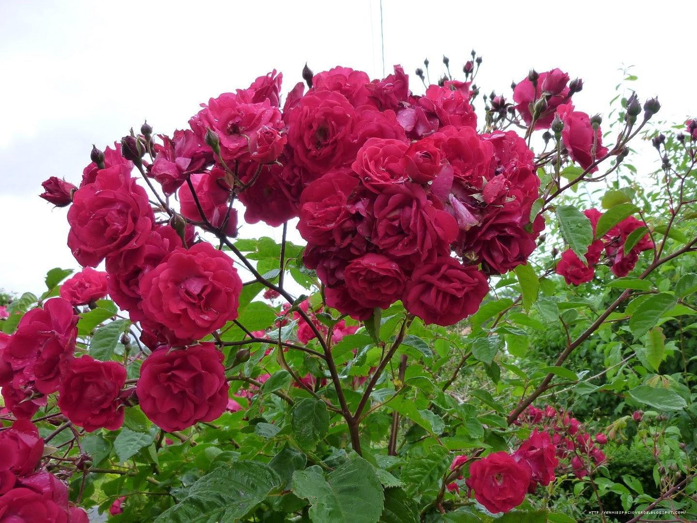Arte y jardiner a rosales polyantha for Jardineria rosales