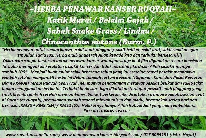 Daun Penawar Kanser Ruqyah~Katik Murai / Belalai Gajah / Clinacanthus nutans / Lindau / Snake Grass
