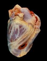 Anatomia di un cuore
