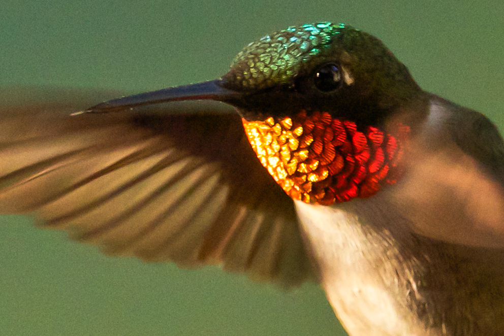 feather tailed stories ruby throated hummingbird