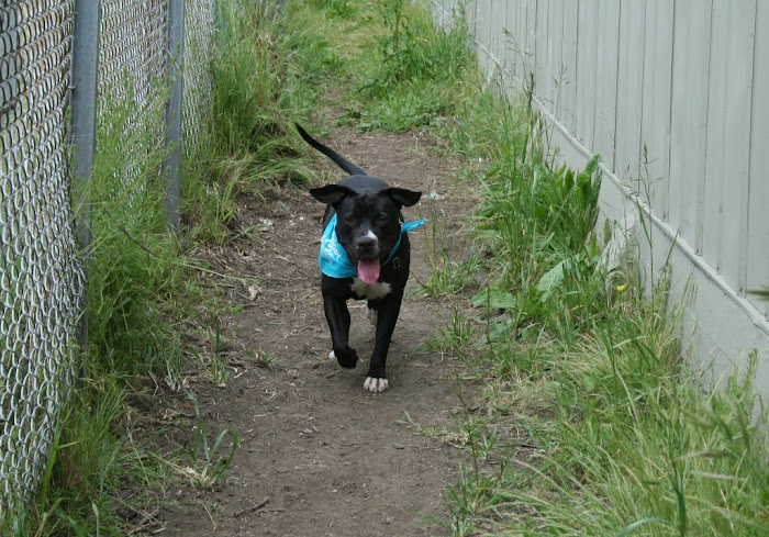 the black pit bull happily prancing down a narrow dirt corridor with weeds growing around the sides, corridor is flanked by a chicken mesh fence on one side and the side of a steel service building on the other side