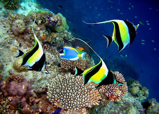 Moorish idol fishes world hd images free photos for Moorish idol fish