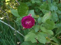 Bleu Mantle Rose
