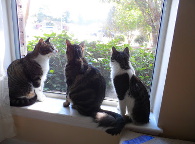 Trixie, Pixie & Anakin (Left to Right) Sitting in the window smelling the outside. Anakin is catching up with the girls isn't he :)
