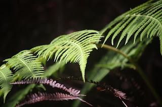 Rain Forest Fern
