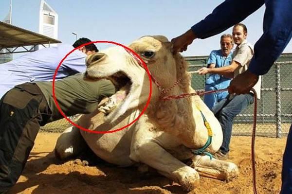 Inside A Camel's Mouth!.. lol.