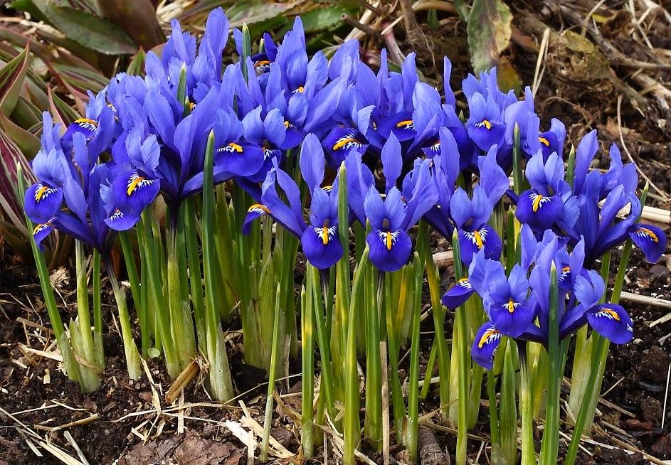 how to grow iris bulbs the garden of eaden. Black Bedroom Furniture Sets. Home Design Ideas