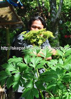 nizarjoe ada di kebun ashitabanya, ashitaba sembalun Lombok