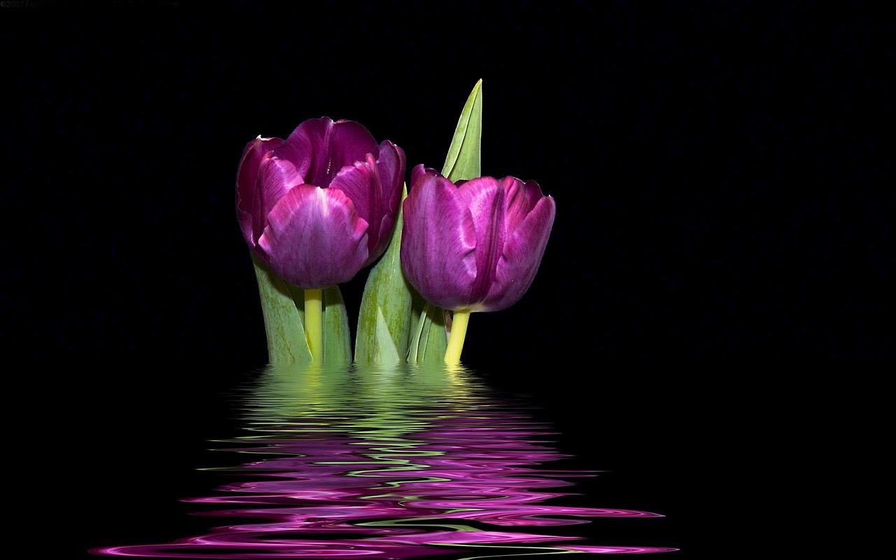 http://3.bp.blogspot.com/-6U0_J9oLOSU/Td6JX7M7dqI/AAAAAAAADi8/_qrWNnMJgTI/s1600/tulipanes_purpura.jpg