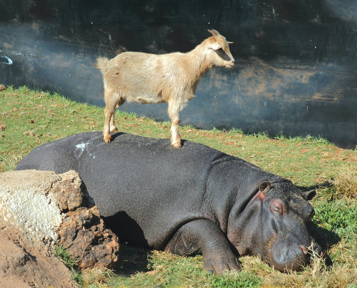 30 seconds of a goat standing on a hippo