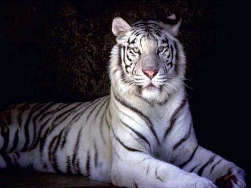 white tiger wallpaper desktop