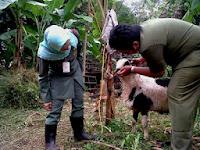 penyakit kambing