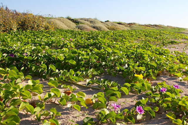 Beach Morning Glory-Fall Dunes at Matgorda Beach-Matagorda, Texas