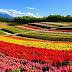 Biei , Karpet Bunga Alami di Jepang