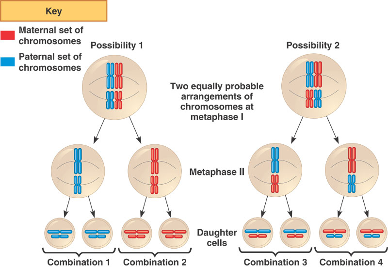 sex linked traits through meiosis and how Inheritance for many traits in the fruit fly, drosophila  assort independently  during meiosis: r r y y r  alleles for each x-linked trait, but males have only 1.