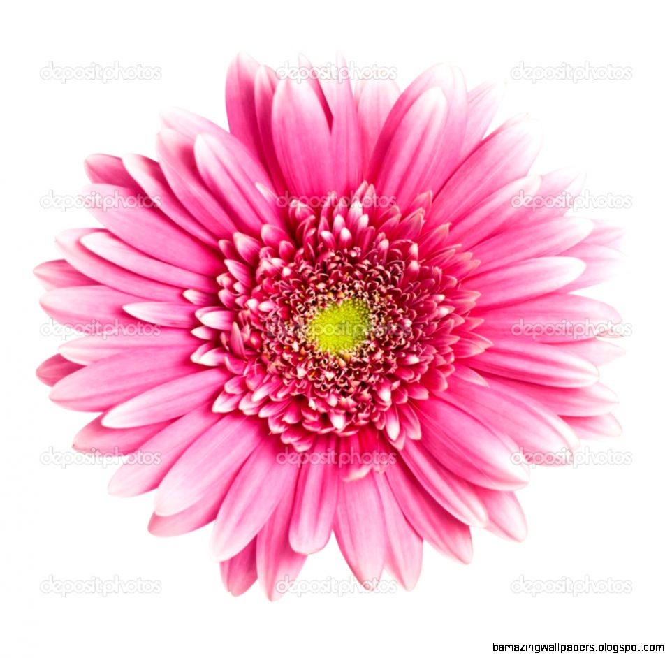 Pink flower white background image collections flower decoration ideas pink flower white background choice image flower decoration ideas beautiful pink flower white background photo wedding mightylinksfo