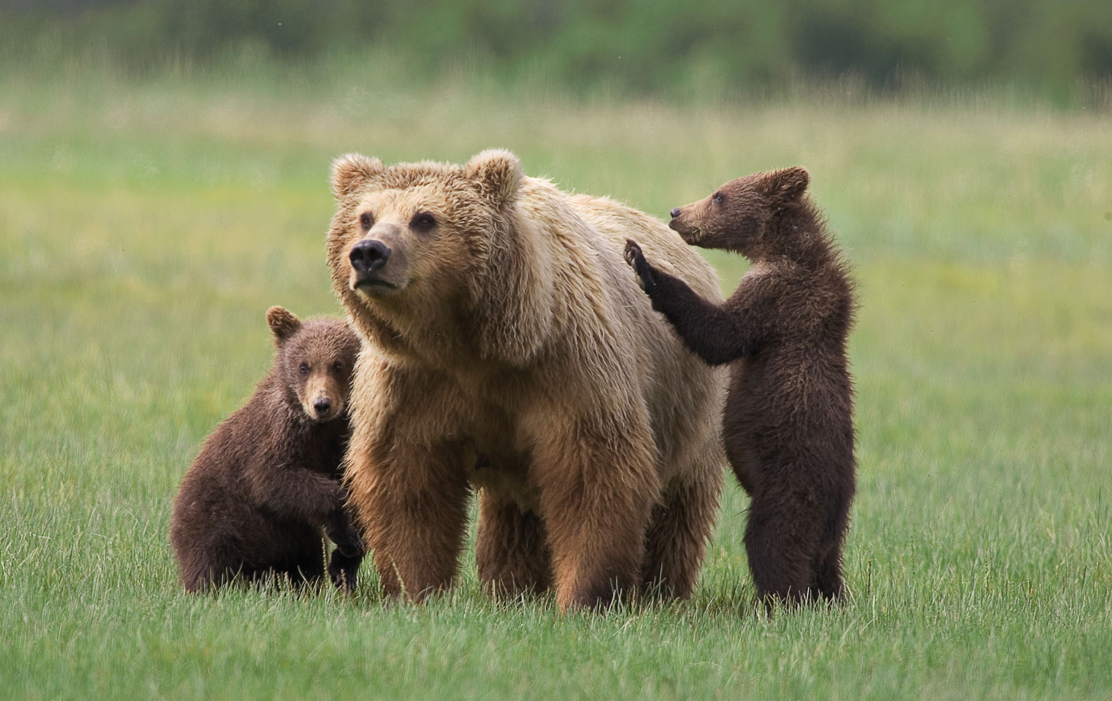 Grizzly bears cubs - photo#12