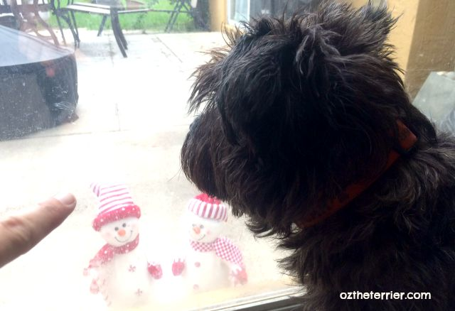 Oz the Terrier finds snowmen on his back patio
