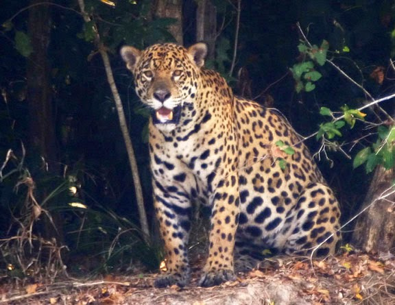 Texas, Where The Last Known Jaguar Had Been Killed By 1949, Is Also Having  Big Cat Sightings. Itu0027s Also Worth Mentioning That One Of The Last Texas  Jaguars ...