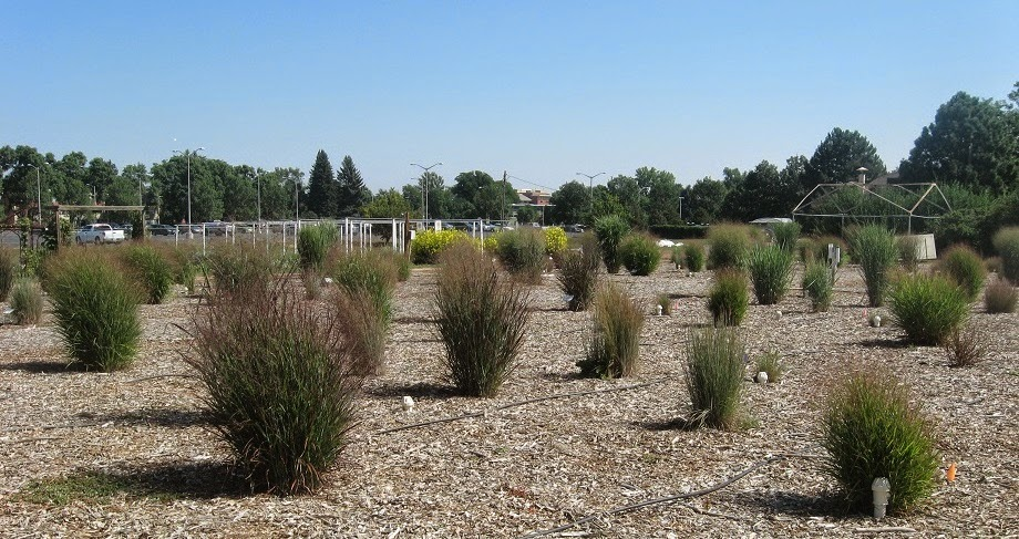 Ornamental Grasses Colorado Co horts national ornamental grass trials in colorado national ornamental grass trials at colorado state university workwithnaturefo