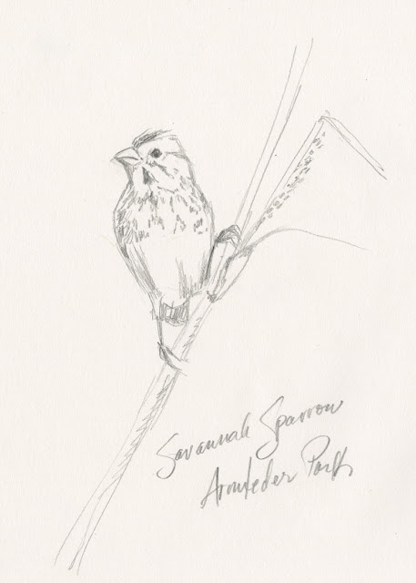 A Savannah Sparrow in a spring meadow at Armleder Park in Hamilton County Ohio (original pencil sketch by Kelly Riccetti)