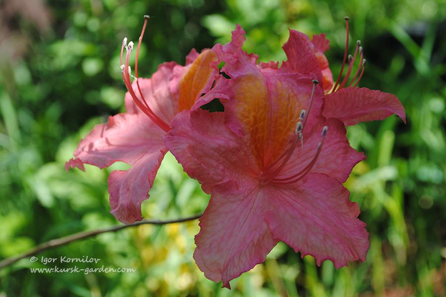 Сеянцы рододендронов, первое цветение