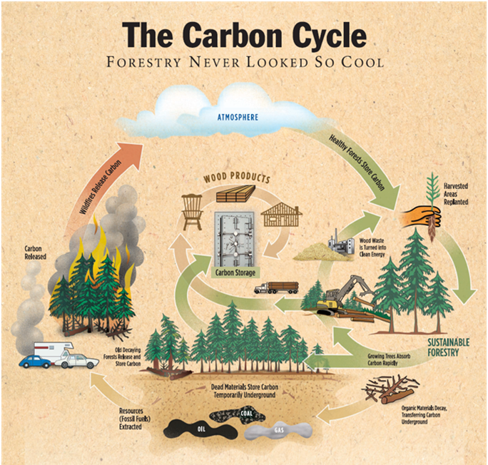 carbon cycle story The carbon cycle begins with the process of photosynthesis, which transforms inorganic carbon into organic carbon our forested areas and our oceans are carbon sinks when carbon is trapped in ocean sediments, or fossil fuels, it is stored for millions of years.