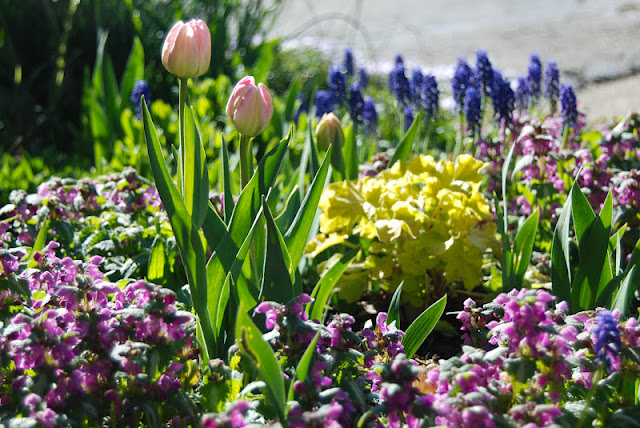 Tulipa 'Angelique', pink blooming Lamium, cobalt blue Muscari armenicum and vivid yellow Heuchera 'Citronelle' in the Driveway Garden.