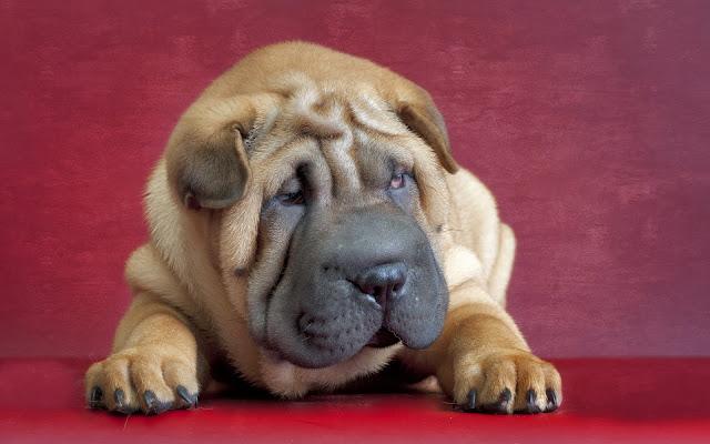 Fotos de Cachorros Shar Peis