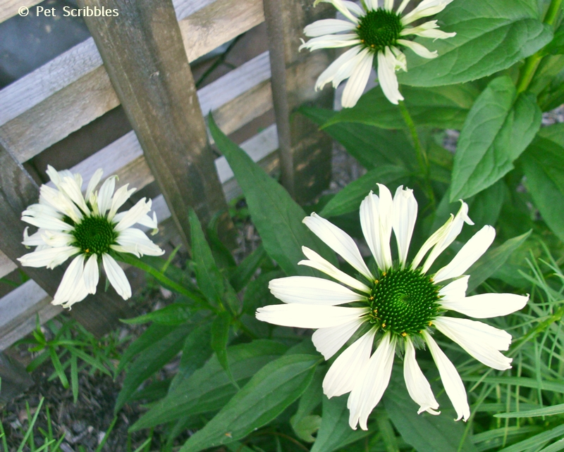 Summer garden blooms up close: Jade Coneflowers! (www.PetScribbles.com)