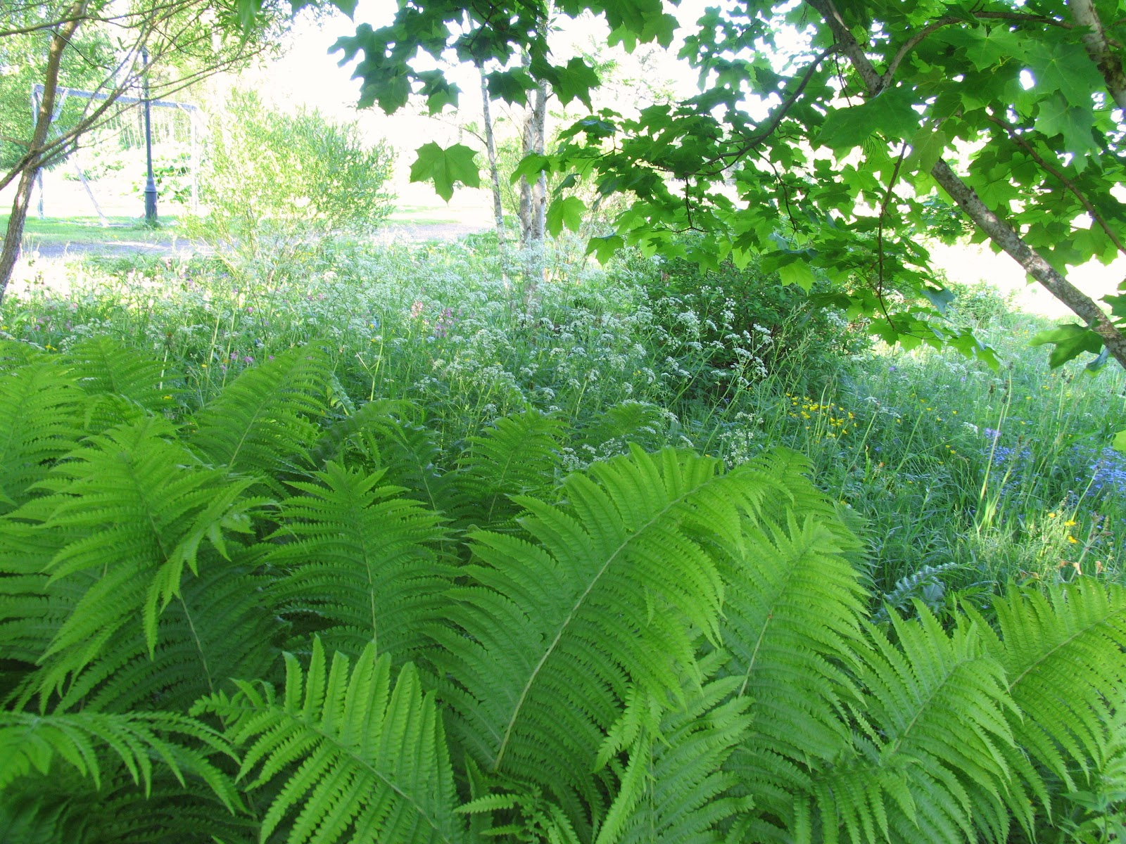 Visningsträdgården Hällans trädgårdsblogg: Ormbunkar