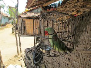 "A pet caged""Alexandrine Parakeet"" in village house next to our hotel."