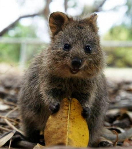 lol international world wide web quokka the happiest. Black Bedroom Furniture Sets. Home Design Ideas