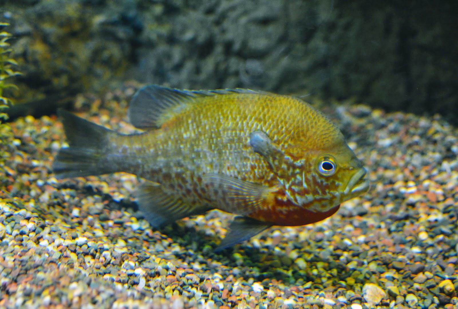 Bluegill Fry Genus lepomis: bluegill,
