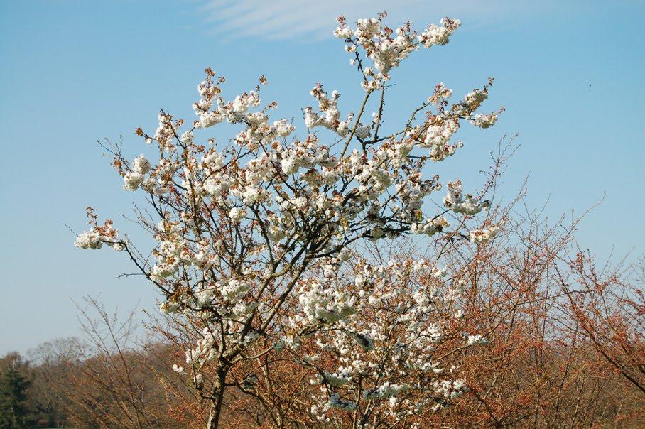 Japan cherry