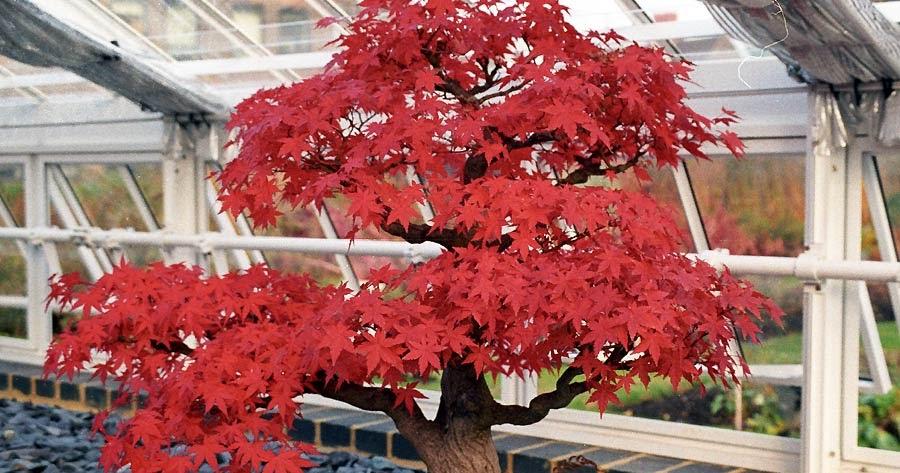 Arte y jardiner a formas de cultivo del bonsai - Cultivo del bonsai ...