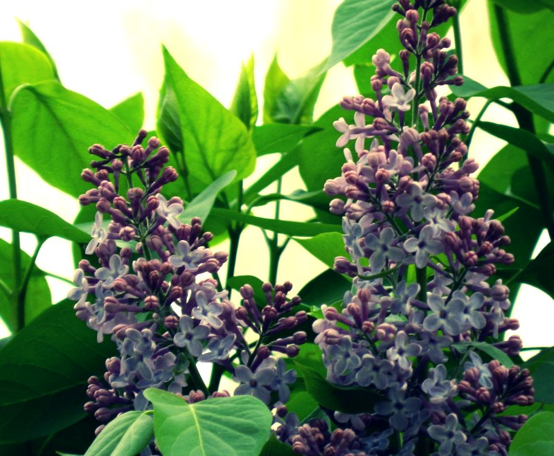 Purple Lilac Blossoms:  Grow Creative