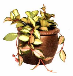 Плющ восковой (Ноуа carnosa) — замечательное вьющееся растение для солнечных окон.