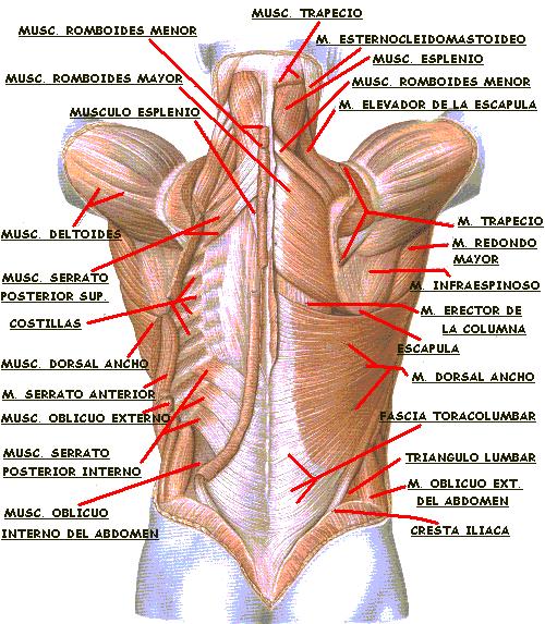 Estetica Corporal: 1) Anatomia y algo mas....