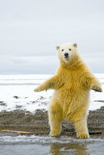 A polar bear shakes its groove thang