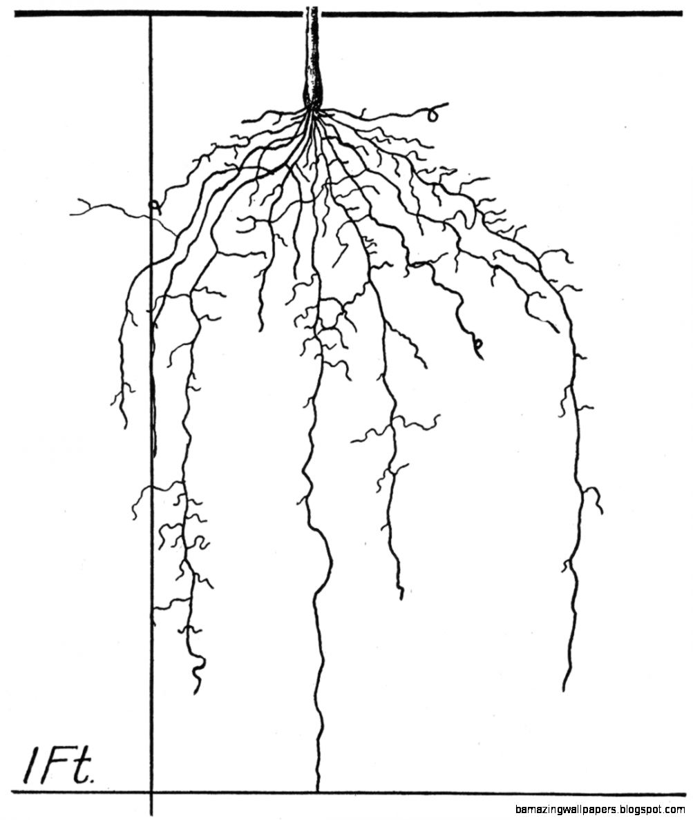 The Root Development of Vegetable Crops Astonishing Illustrations
