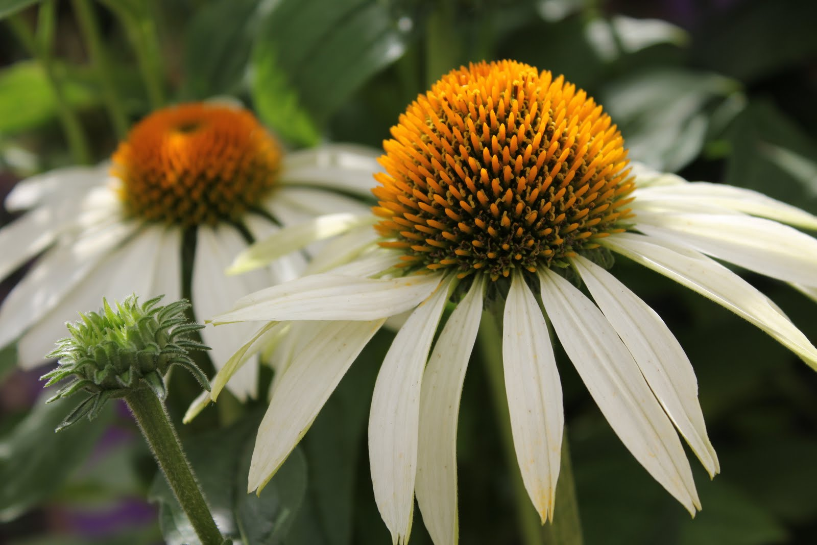 the lure of echinacea gulley greenhouse. Black Bedroom Furniture Sets. Home Design Ideas