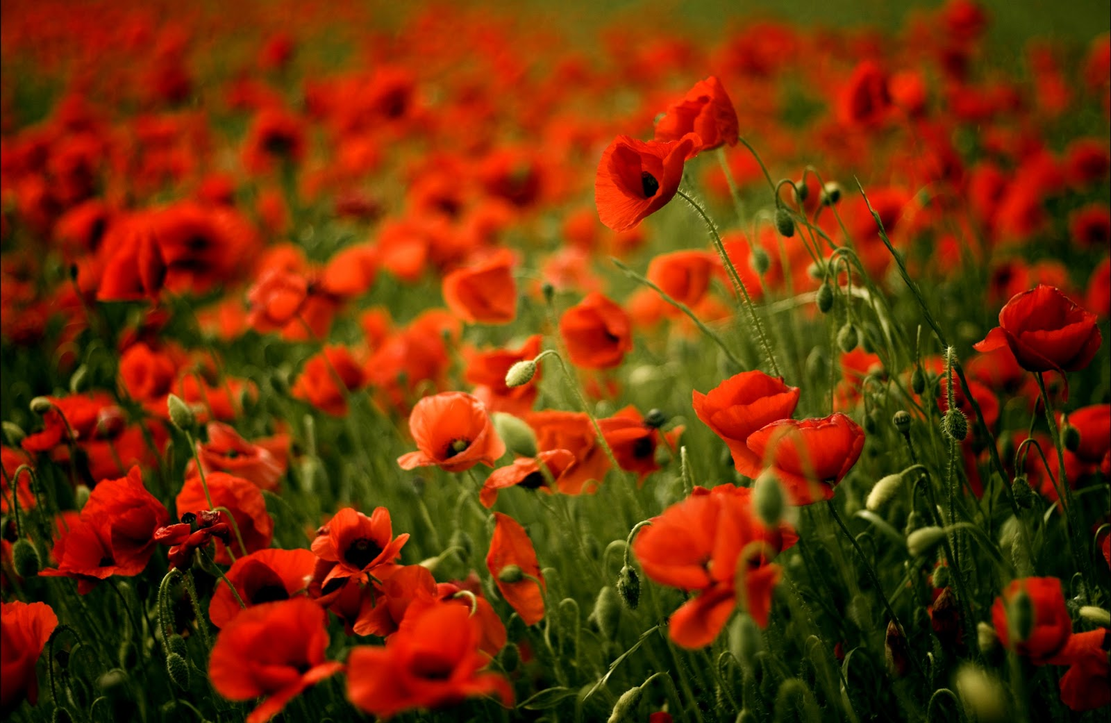 Beautiful Poppies Free Best Hd Wallpapers