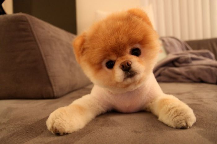 ... Hub Of Besties.: Boo - The Cutest Pomeranian Dog In The World