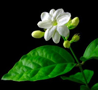 khasiat bunga melati