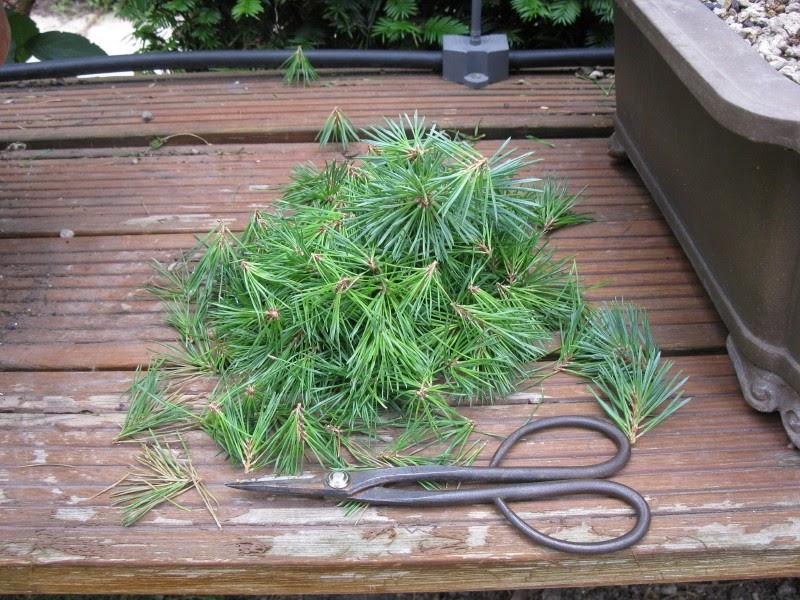 Matsu bonsai taille des pousses de l 39 ann e des pins sylvestres - Quand tailler les pins ...