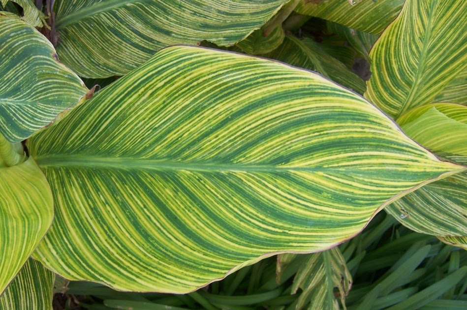 The 2 Minute Gardener Photo Variegated Canna Lily Leaf