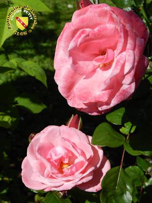 VILLERS-LES-NANCY (54) - La roseraie du Jardin botanique du Montet - Rose Pink Perpetue