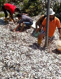 Kemunculan ratusan ikan basung